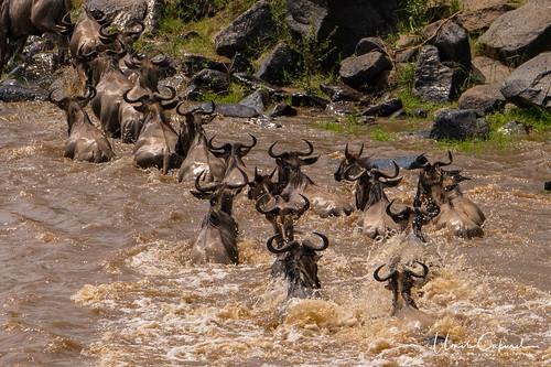 narokcounty kenya masaimara africa lion liones cub greatmigration wildebeest sunset sunrise silhouette crocodile hunt kill river mara sony nikon d500 a7r2