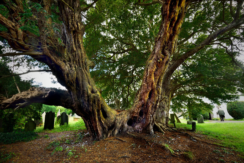 The Llangernyw Yew   This tree is dated to between 4,000 and…   Flickr