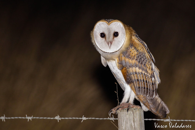 Coruja-das-torres, Common Barn Owl (Tyto alba)