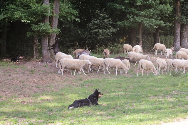 Flock of sheep/Tirage de mouton