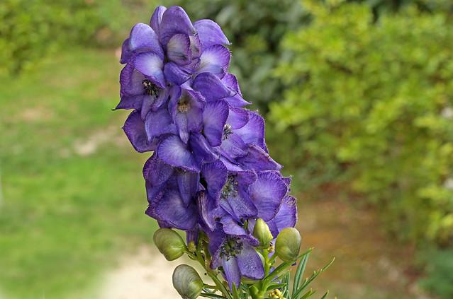Aconitum napellus (ranunculaceae) 220 17