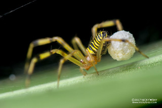 Comb-footed spider (Theridion sp.) - DSC_8953