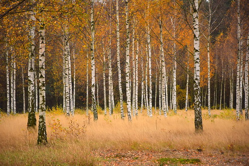 birch tree trees autumn fall nature colours leaves foliage natural gold golden copper grass dry lodzhillslandscapepark parkkrajobrazowywzniesieńłódzkich łódzkie lodzkie polska poland