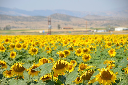 Cody Sunflower field | by Pierre Yeremian