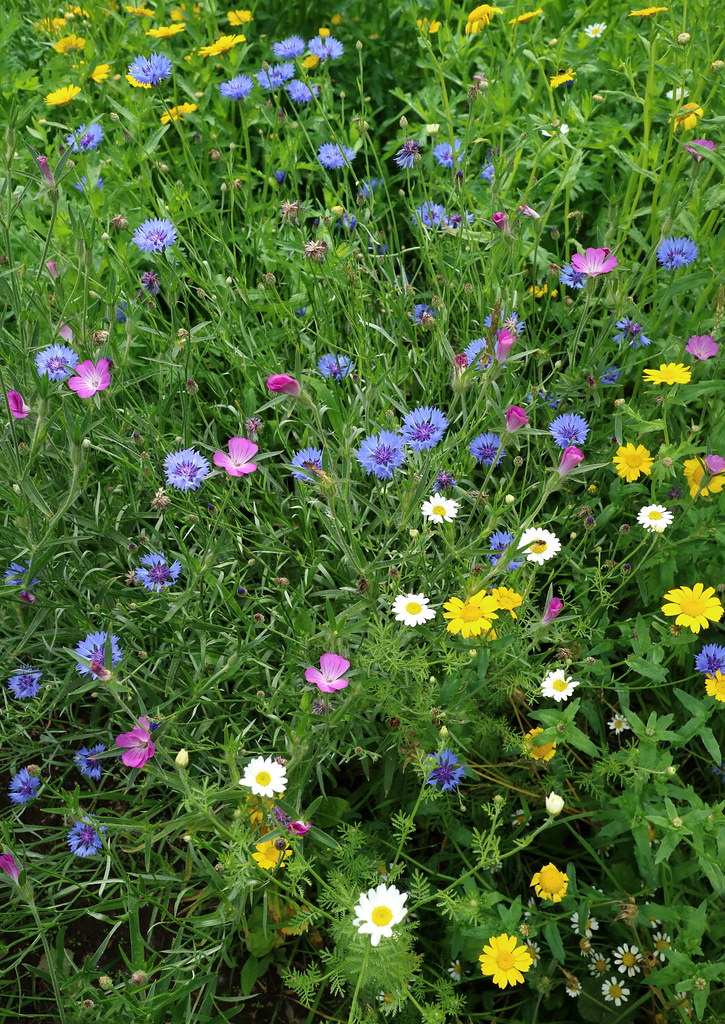 Wild Flowers - Grow Wild - Canley Brook Meadow - 11 Aug 2017