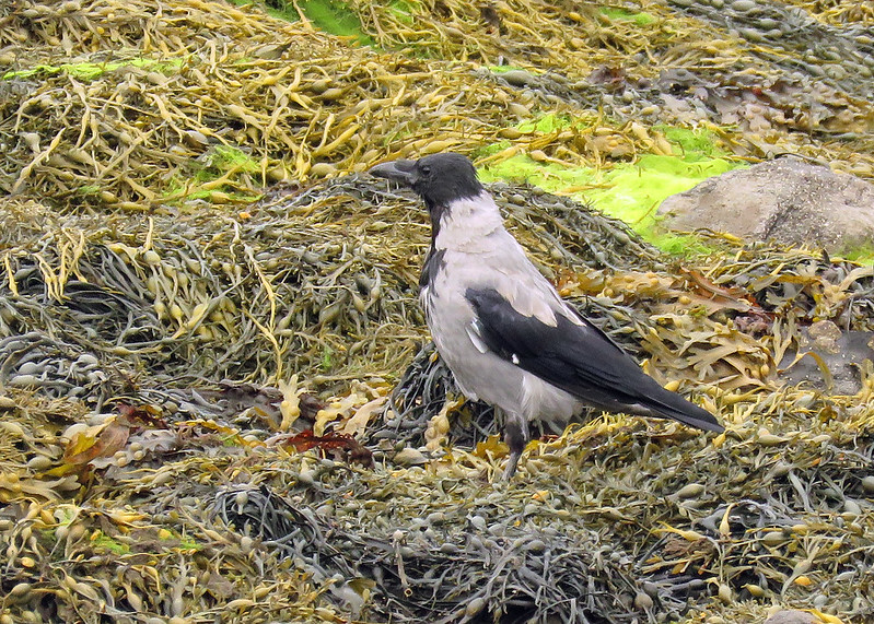 Hooded Crow - Corvus cornix