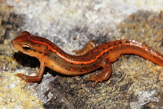 Striped newt | by MyFWCmedia