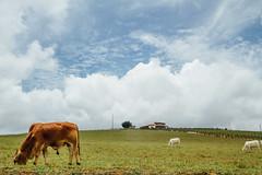 Grazing Cows Under Blue Sky, Santander Colombia