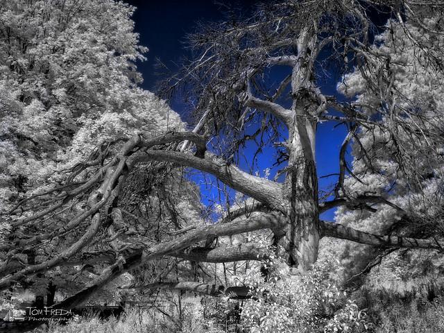 Dead pine at Hawk Hill