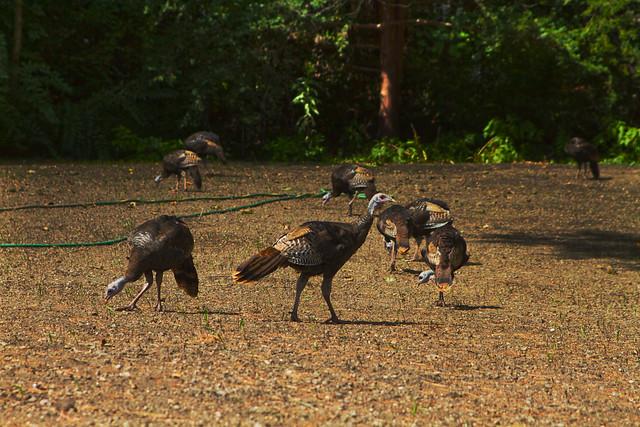turkeys at Prospect St House; Wakefield, MA (2017)