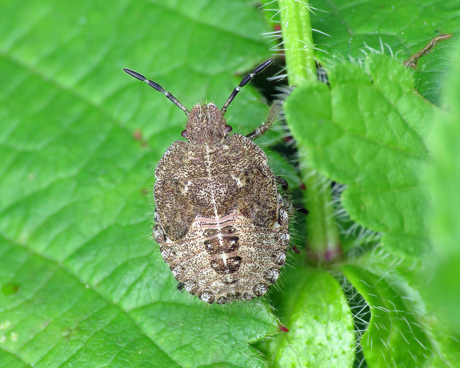 Hairy Shieldbugs - Dolycoris baccarum