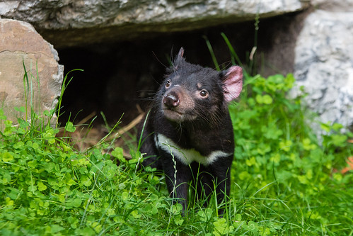 Tasmanian Devil | by Mathias Appel