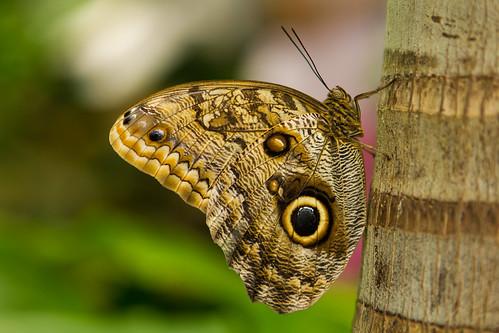 Owl butterfly | by Daniel Dionne