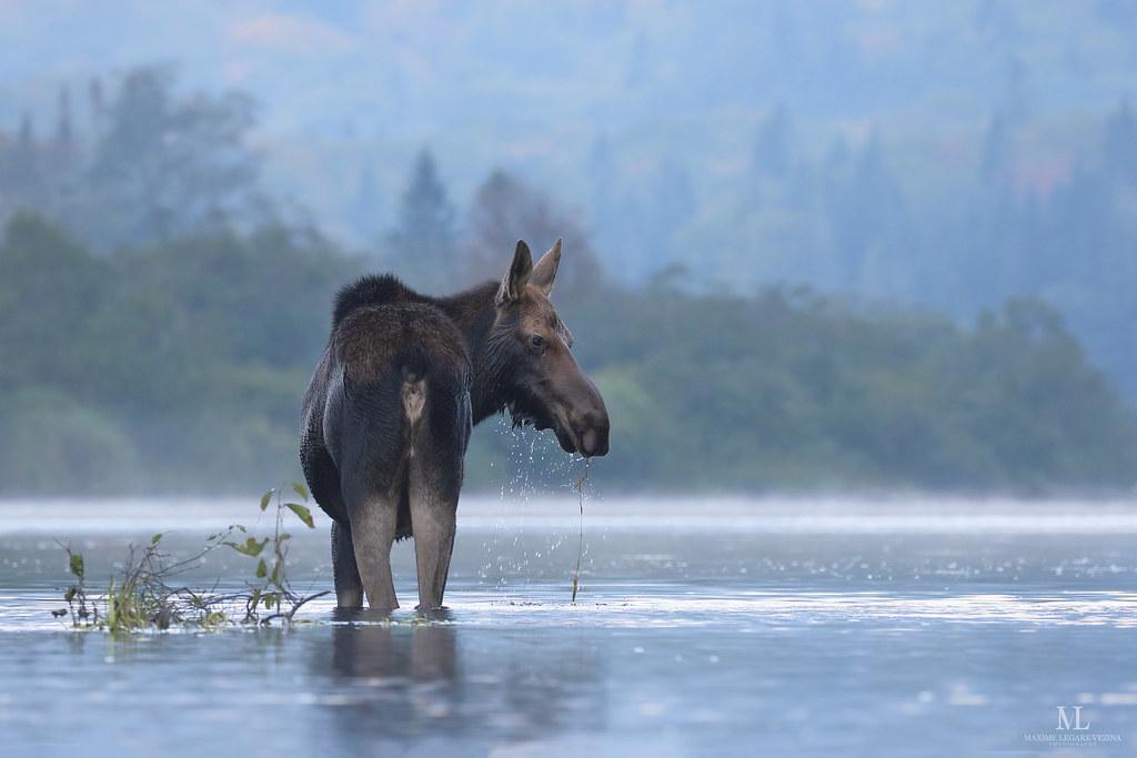 Moose - Orignal - Alces