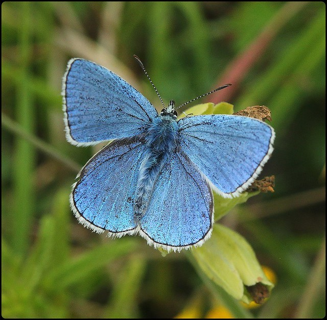 Male Adonis Blue basking - Swelshill Bank