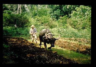 Cultivation Of Upland By Carabao = カラバオによる耕作