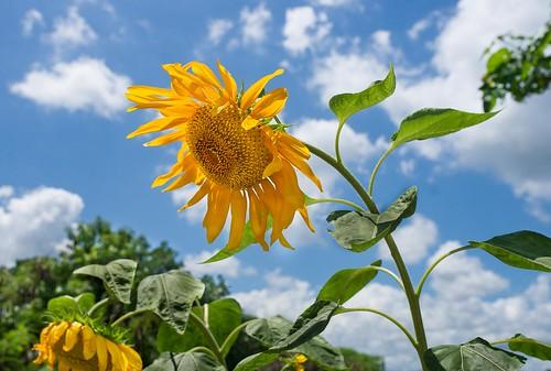 helianthus maesot seasia sunflower thailand flower golden tambonthasailuat tak th