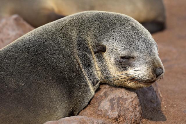 Cape Fur Seal (Arctocephalus pusillus), Cape Cross, Erongo Region, Namibia
