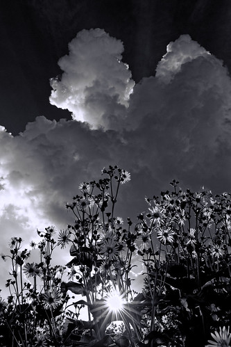 oxeyesunflowers bw clouds sun