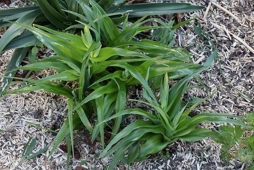 Iris bucharica 36401193571_25a23c024b