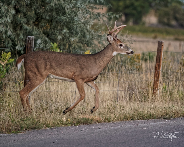 Young Buck Jumps Fence - 18 of 19