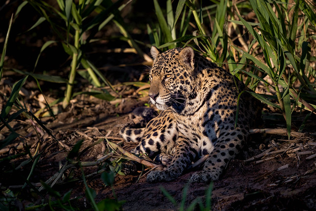 The first meeting with a Jaguar (in the Wild)