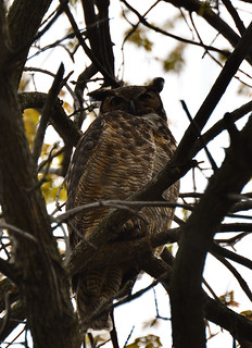great horned owl petrie island 20052016 DSC_0520 | by David Villeneuve