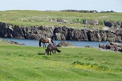 Bonavista horses 3