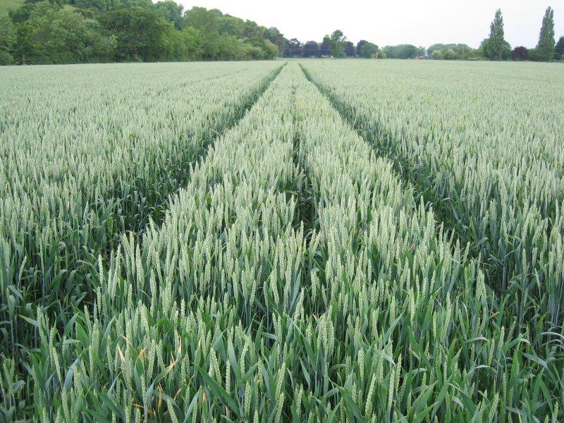 tracks in corn