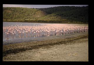 Flamingo = フラミンゴ