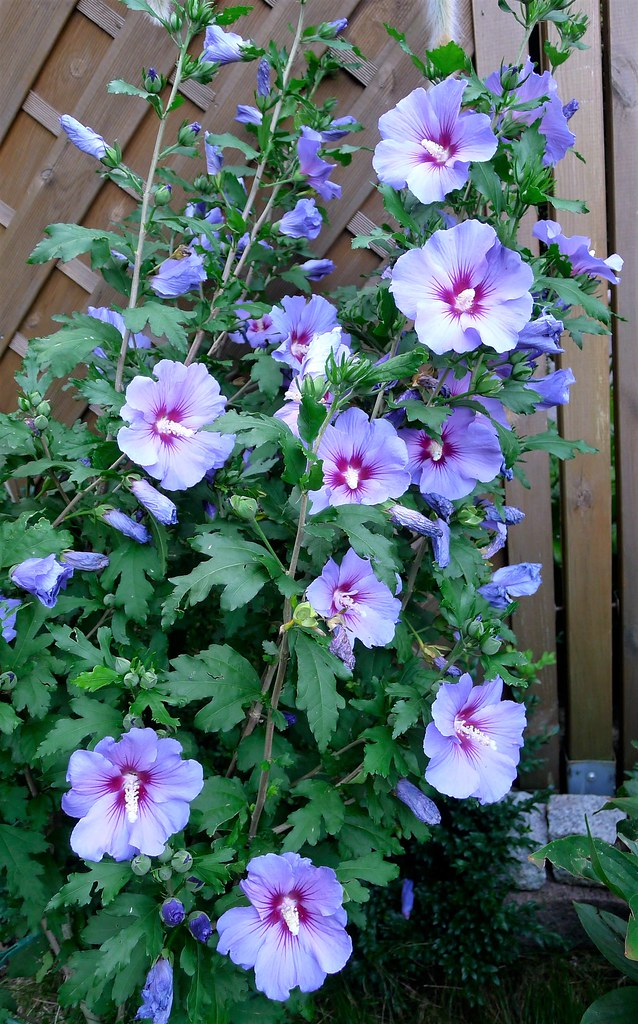 Hibiscus Syriacus Blue Bird Han Keat Lim Flickr