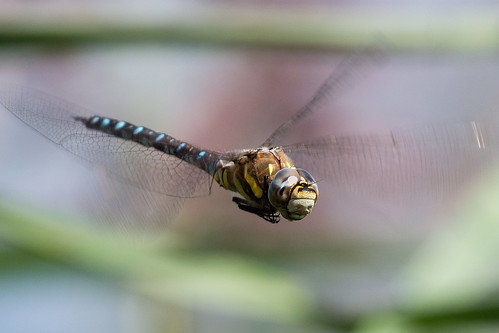 Blue Hawker | by Mike.Pursey