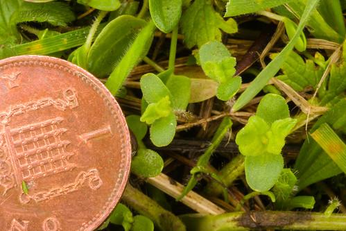 Rhinanthus minor (Yellow Rattle) seedlings
