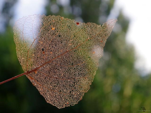 leaf skeleton(5)