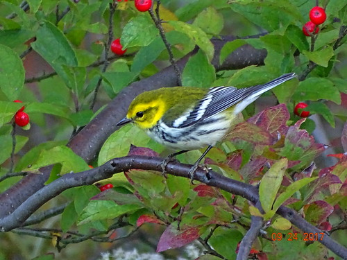 blackthroatedgreenwarbler bluemountainskiresort carboncounty pa sonyhx400v