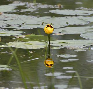 flower petrie island 27062015_DSC6280 | by David Villeneuve