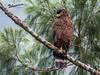 Philippine Serpent Eagles (Spilornis holospilus) by tebanwuds
