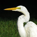 Great Egret - Photo (c) Amy Evenstad, some rights reserved (CC BY-NC-SA)