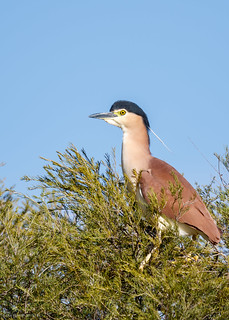 Nankeen Night-heron | by gus.meredith