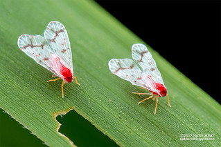 Derbid planthoppers (Derbidae) - DSC_9107
