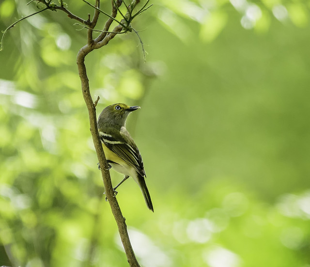 Birds - White-eyed Vireo by Jesus Moreno
