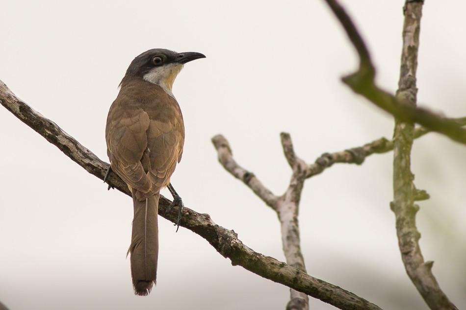 Cuclillo Canela - Coccyzus melacoryphus - Dark-billed Cuckoo