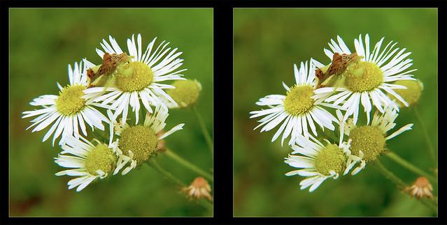 Jagged Ambush Bug on Heath Aster Flower 4 - Crosseye 3D