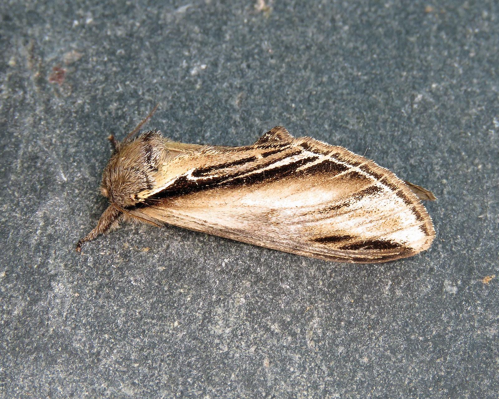 71.017 Swallow Prominent - Pheosia tremula