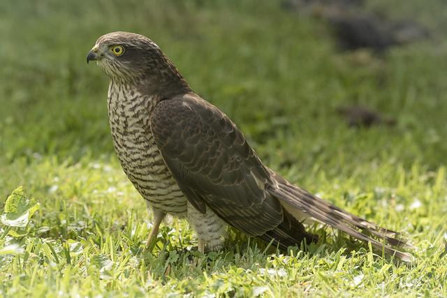 Female Juvenile Sparrowhawk