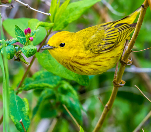 americanyellowwarbler yellowwarbler warbler woodwarblers setophaga setophagapetechia dendroicapetechia dendroica newworldwarbler nigelje parulidae okanagan