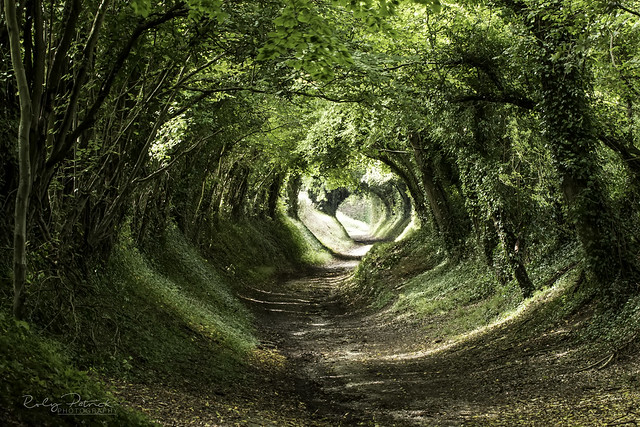Tunnel Of Trees - Halnaker