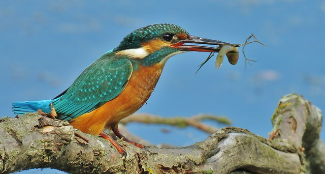 Today was a good day. My first Kingfisher :)