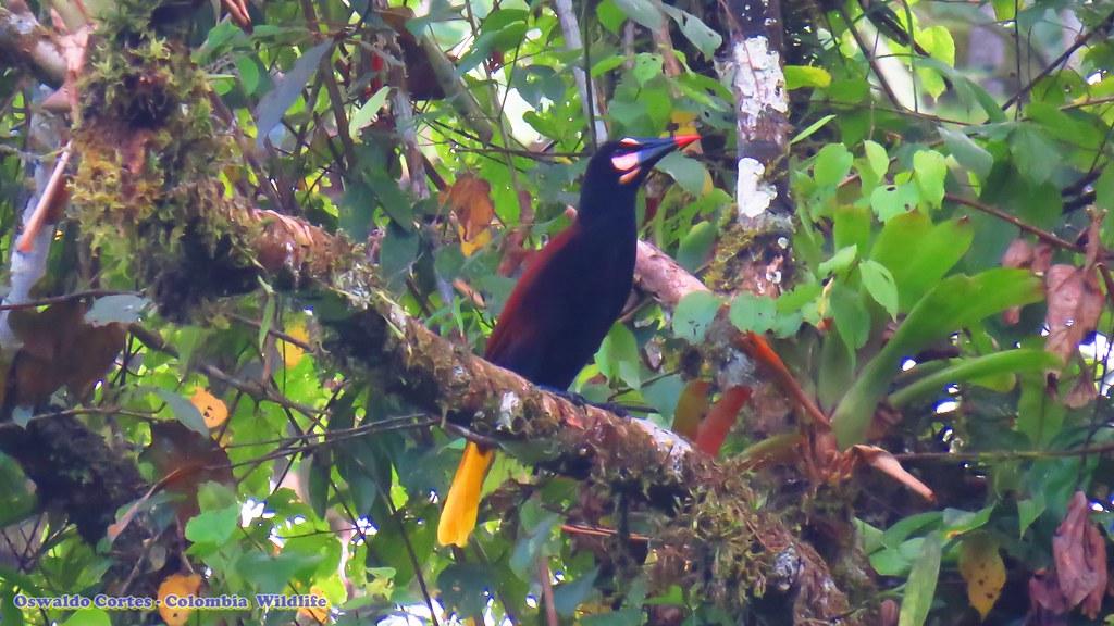 endemic, Psarocolius cassini (Baudo Oropendola, Baudó Oropendola, Uraba Birding (Mutata)