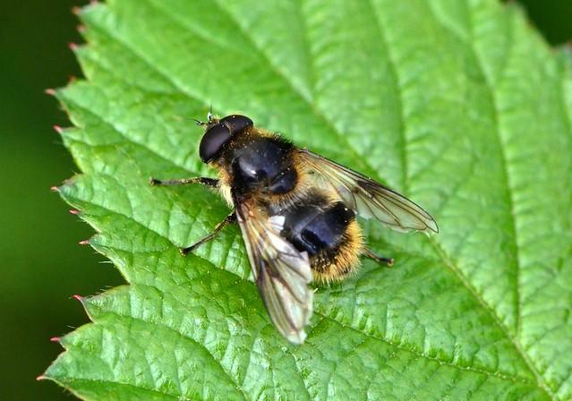 Hoverfly Cheilosia illustrata ?